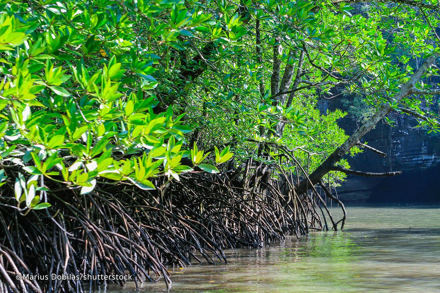 Langkawi Mangrove Forest